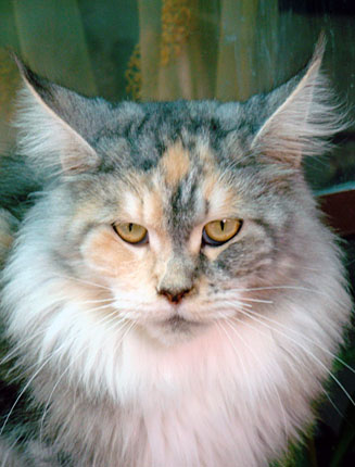 Luciernagas maine coon for Koi pond maine coon cattery